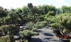 bonsai003