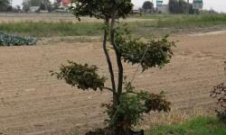 bonsai007