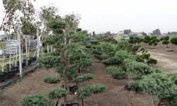 bonsai013