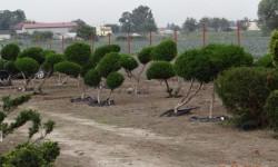bonsai014