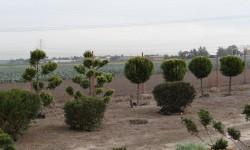 bonsai019