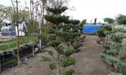 bonsai020