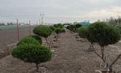 bonsai022