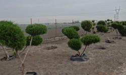 bonsai024