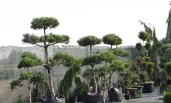bonsai025