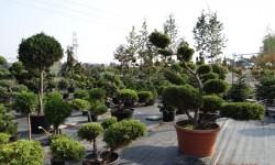 bonsai026