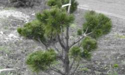 bonsai028