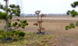 bonsai031
