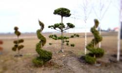 bonsai033