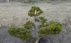 bonsai038