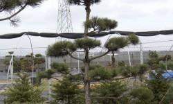 bonsai039