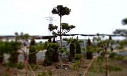 bonsai041