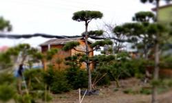 bonsai042
