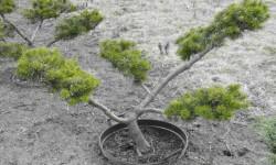 bonsai045