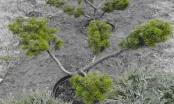 bonsai046