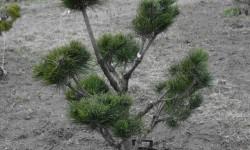 bonsai047