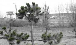 bonsai048