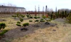 bonsai049