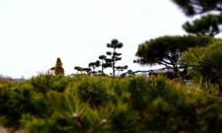 bonsai054