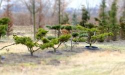 bonsai055