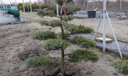 bonsai057
