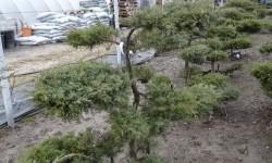 bonsai058
