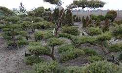 bonsai059