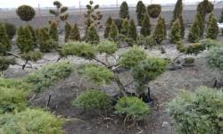 bonsai060