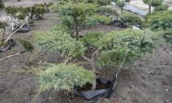 bonsai061