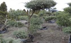bonsai062