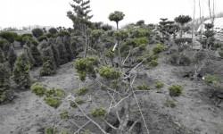bonsai063