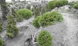 bonsai064