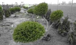 bonsai065