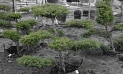 bonsai066