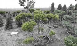 bonsai067